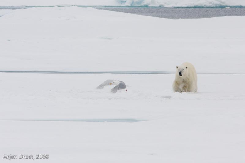 Polar Bear - IJsbeer - Ursus maritimus