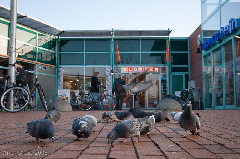 Racing Pigeon - Stadsduif - Columba livia f. domestica