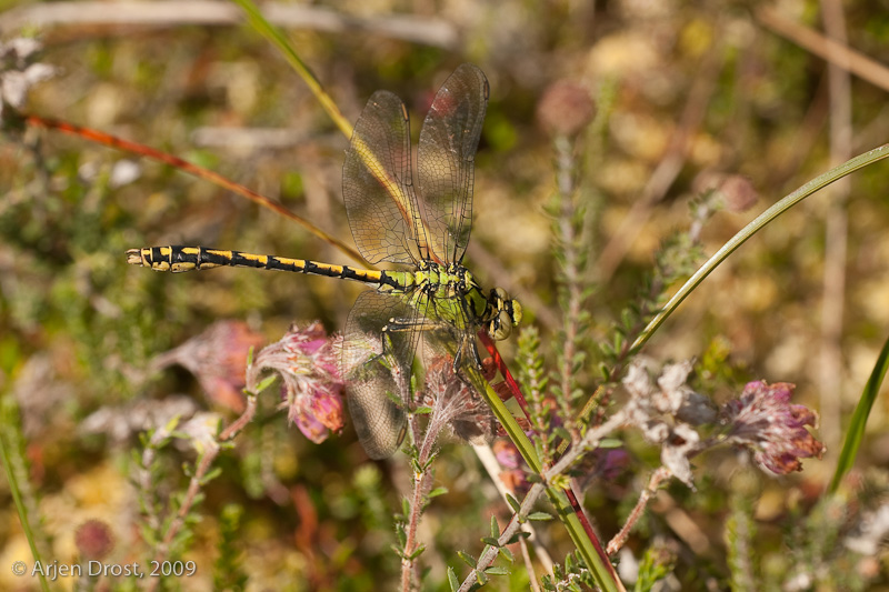 Green Snaketail - Gaffellibel - Ophiogomphus cecilia