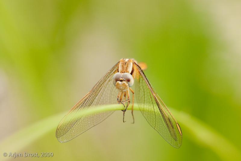 Scarlet Darter - Vuurlibel - Crocothemis erythraea