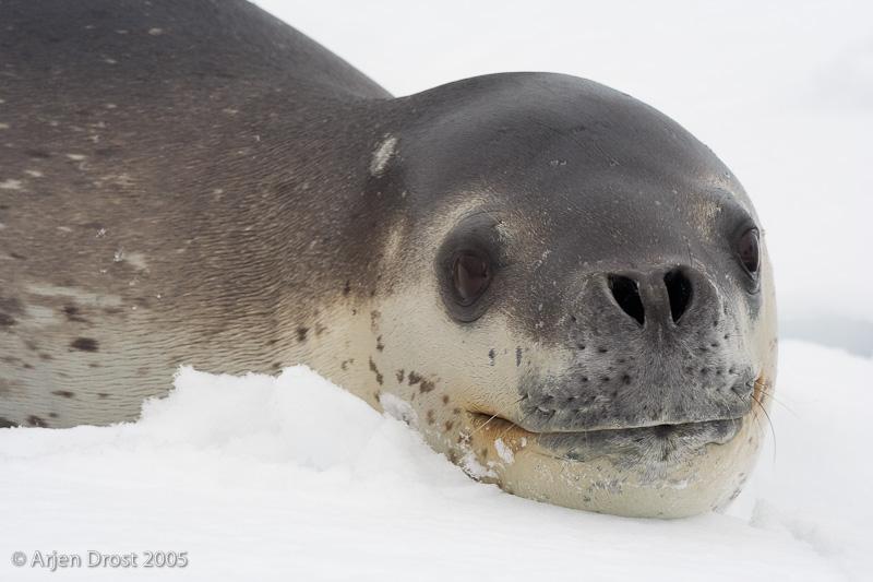 Leopard Seal - Zeeluipaard - Hydrurga leptonyx