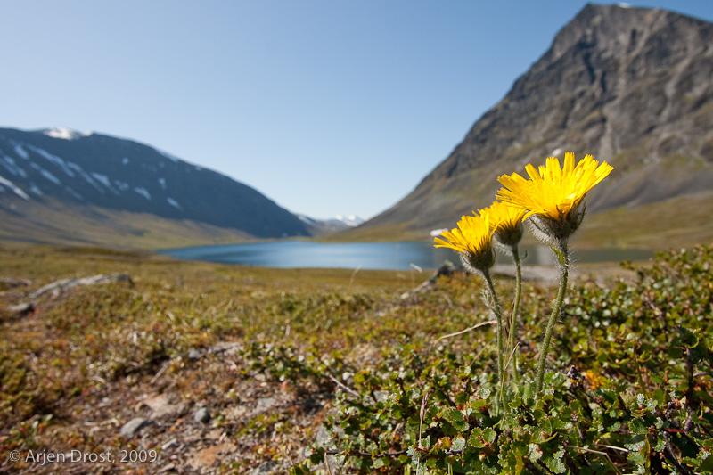 """mountain hawkweed"" - ""berghavikskruid"" - Hieracium sect. Alpina"