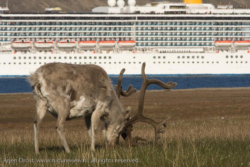 Spitsbergen Reindeer - Rangifer tarandus platyrhynchus
