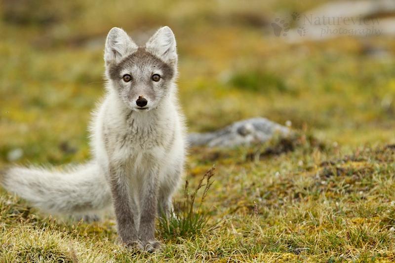 Poolvos; Arctic Fox; Alopex lagopus