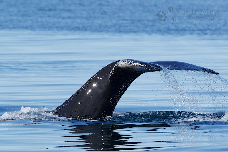 Humpback Whale in better times