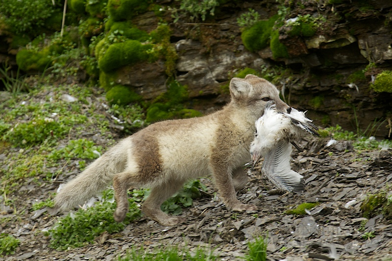Arctic Fox with a dead Kittiwake
