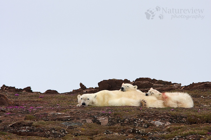 Polar Bear mother with cubs