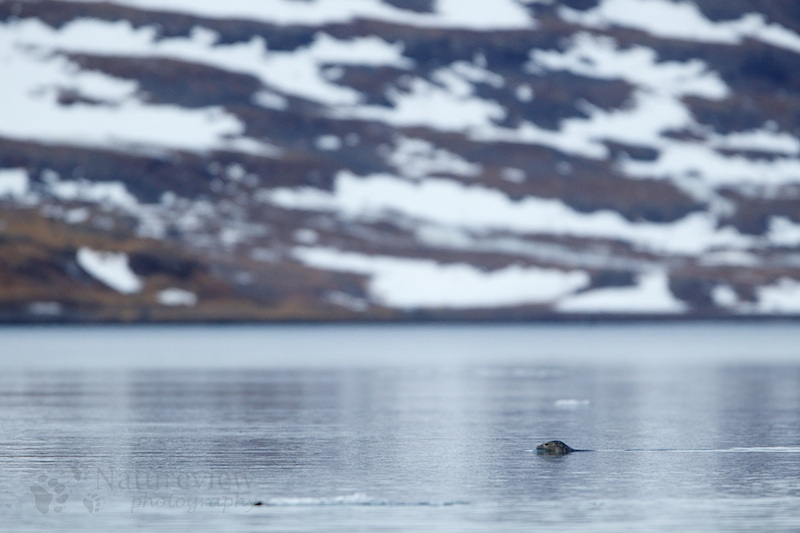 Grey Seal on Iceland