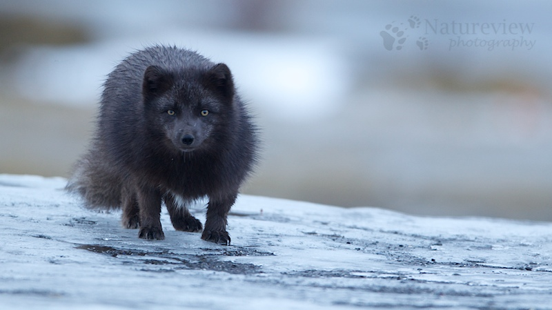 Arctic Fox - blue morph in Iceland