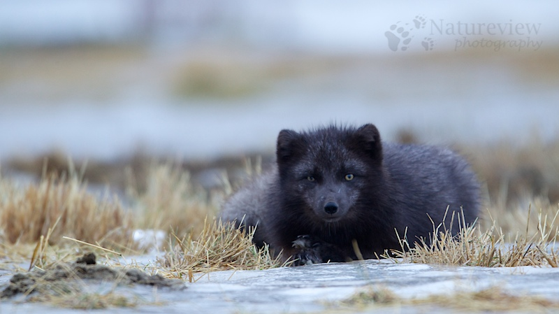 Arctic Fox on Iceland