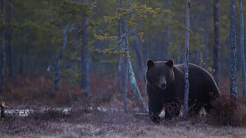 Brown Bear at dusk