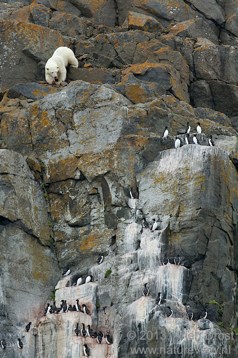 Brünnich's Guillemots and Polar Bear