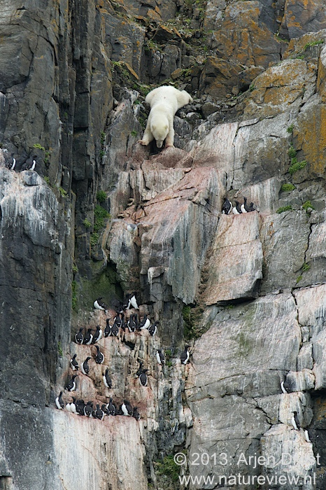 Polar Bear and Brunnich's Guillemots