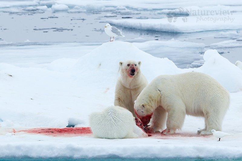 Polar Bears on a dead seal