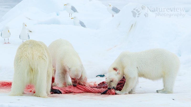 Polar Bears on a kill