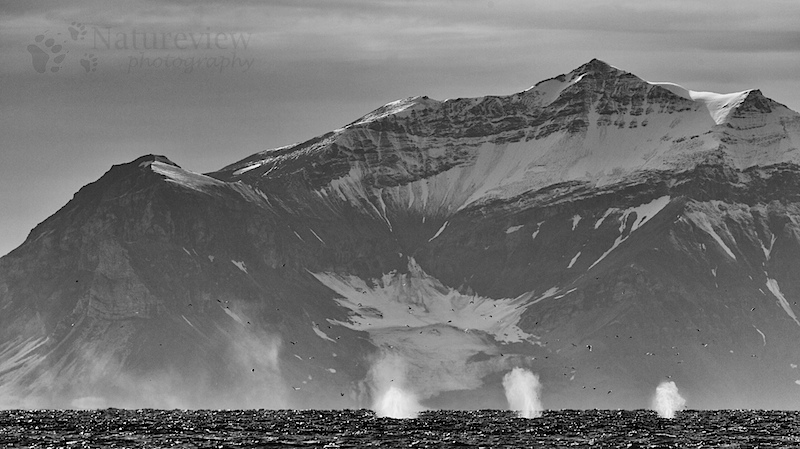 Fin Whales in black and white