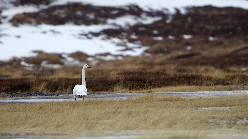 Whooper Swan in Iceland