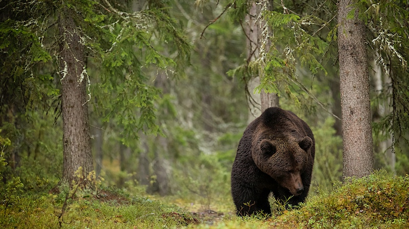 Brown Bear roaming the taiga