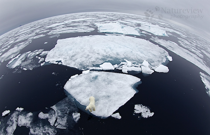 Polar Bear on top of the world
