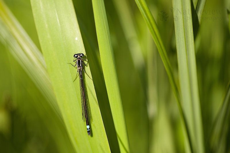 female Dark Bluet