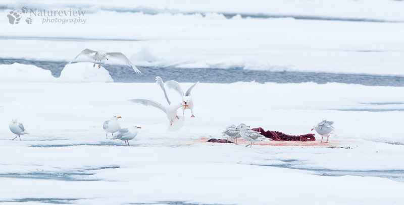 Glaucous Gulls on a dead seal