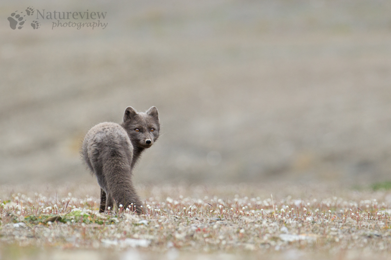 'Blue' Arctic Fox