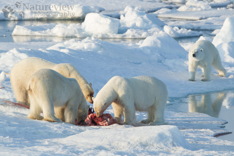Polar Bears sharing food