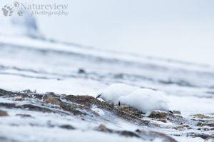 Spitsbergen Ptarmigan