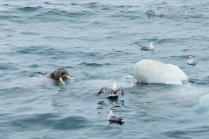 Walrus scavenging on dead Minke Whale