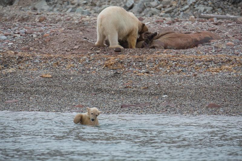 Polar Bear family on a dead Walrus