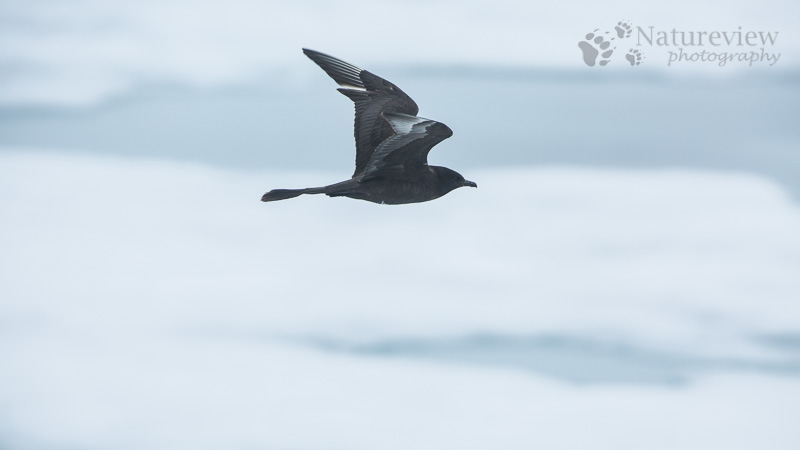 Dark morph Pomarine Skua in the pack ice