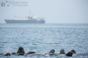 Walruses and Ortelius in the snow