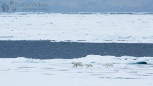 Polar bear, mother and cubs