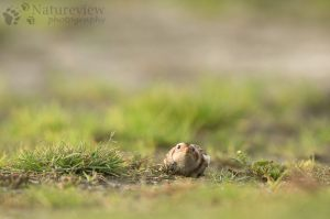 Snow bunting hiding for a Kestrel