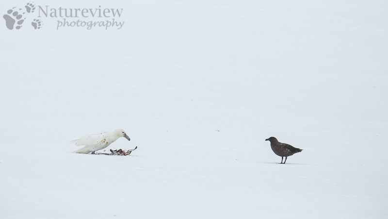 Southern Giant Petrel and Brown Skua