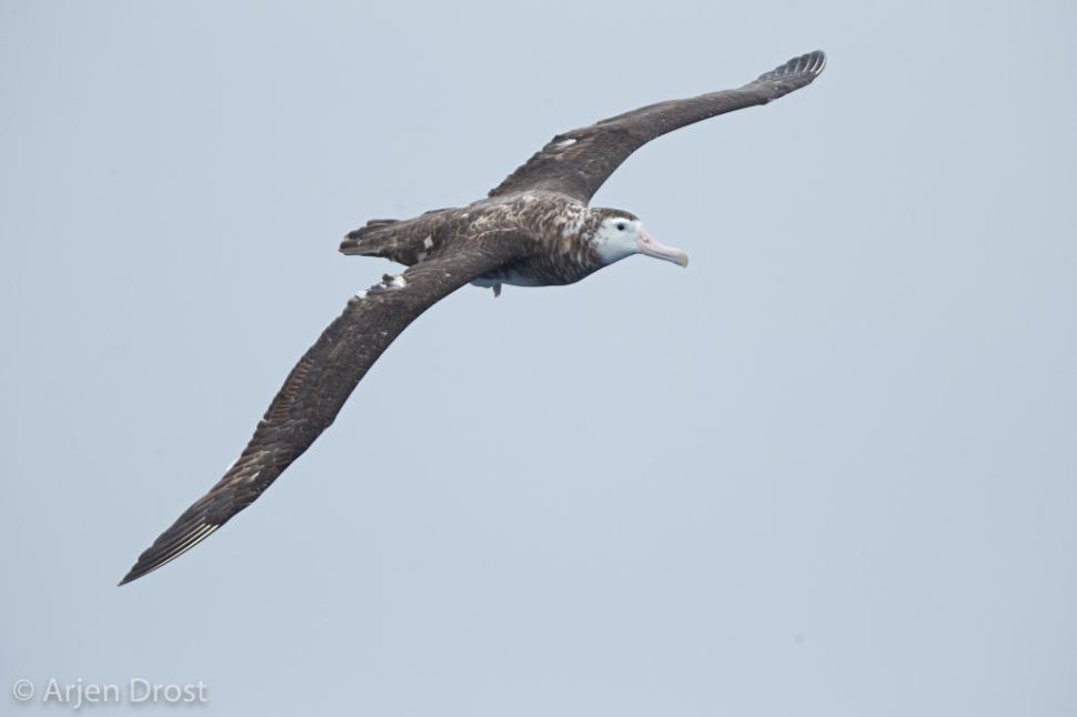 Grote Albatros; Wandering Albatross; Diomedea exulans