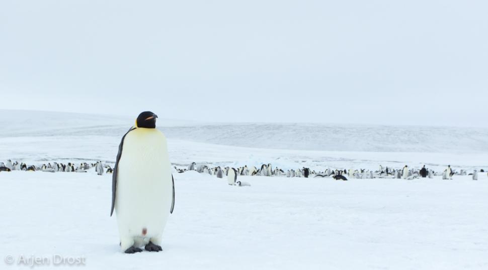 Keizerspinguin; Emperor Penguin;  Aptenodytes forsteri