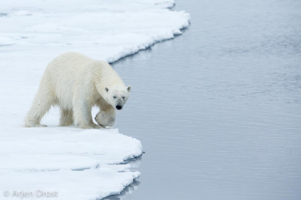 IJsbeer; Polar Bear; Ursus maritimus