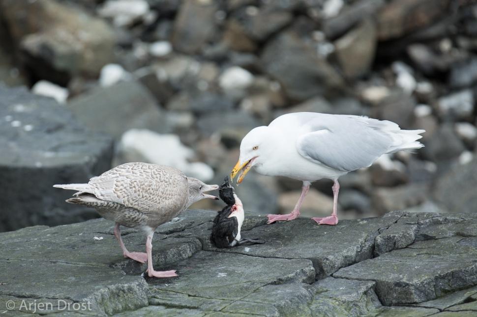 Grote Burgemeester; Glaucous Gull; Larus hyperboreus