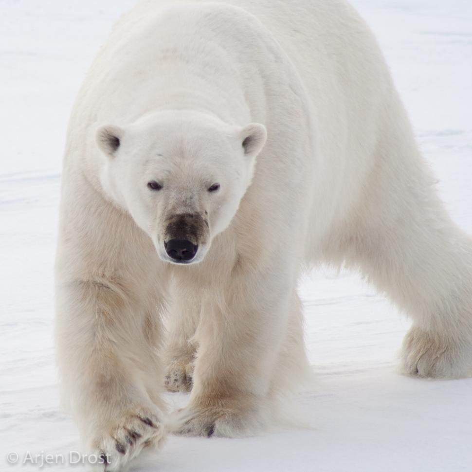 Polar Bear- IJsbeer - Ursus maritimus