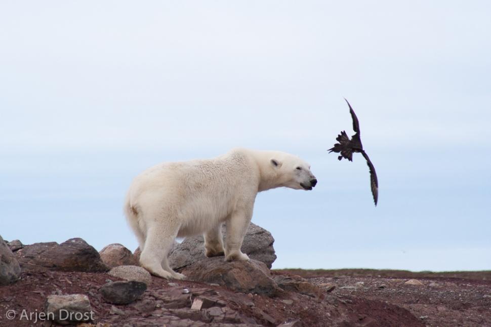 Polar Bear and Arctic Skua- IJsbeer en Kleine Jager - Ursus maritimus et Stercorarius parasiticus