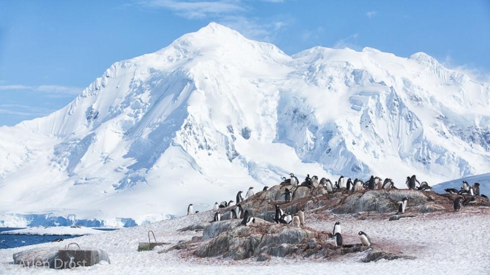 Ezelspinguin; Gentoo Penguin; Pygoscelis papua