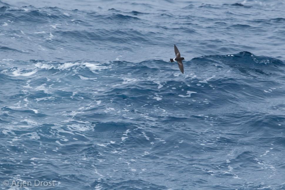 Wilsons Stormvogel; Wilson's Storm Petrel; Oceanites oceanicus