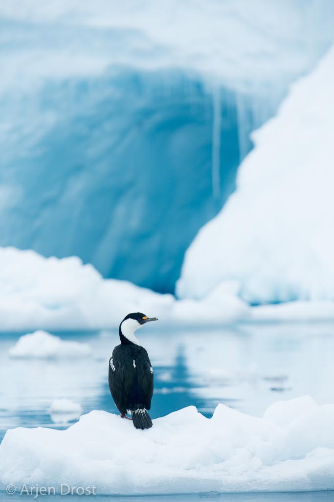 Antarctische Aalscholver; Antarctic Shag; Leucocarbo bransfielde