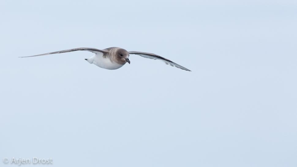 Antarctic Petrel; Antarctische Stormvogel; Thalassoica antarctic