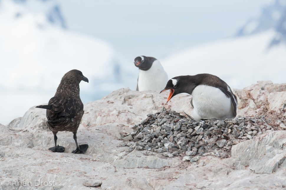 South Polar Skua and Gentoo Penguin; Zuidpooljager en Ezelspingu